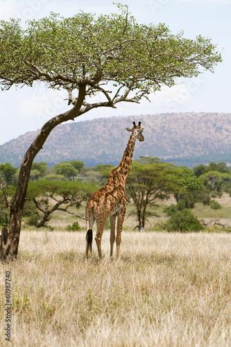 Staande foto Afrika Giraffe under a tree in Africa