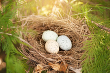 Three Bird Eggs In A Nest Spring