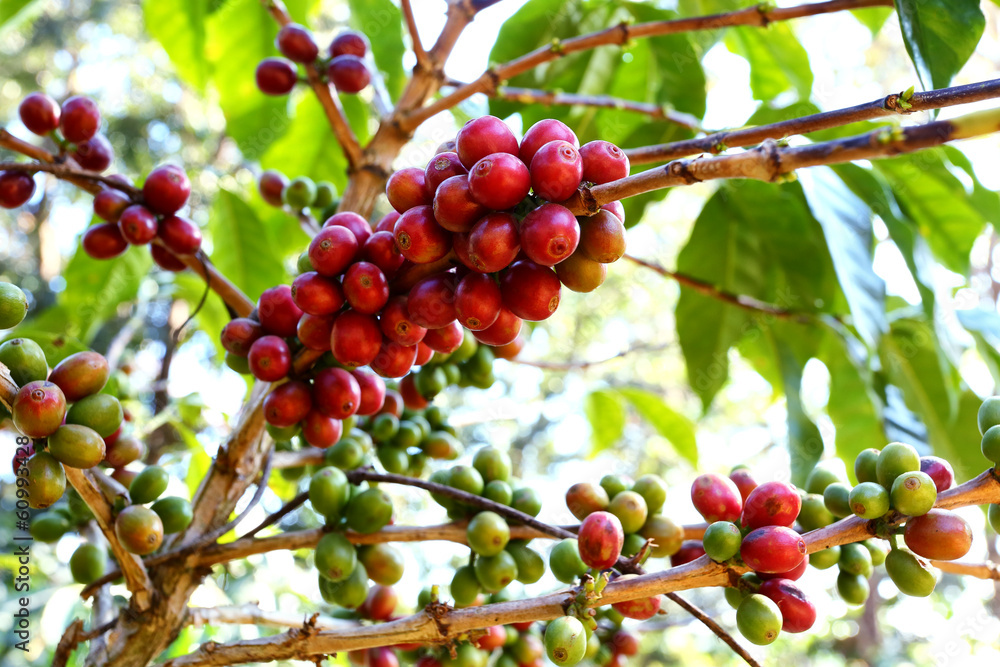 Red And Green Coffee Beans Ripe On The Branch Of Coffee Plant Wall