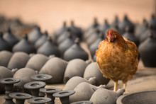 Chicken Among The Clay Products