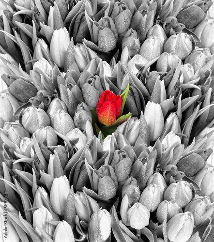 czerwony-tulipan-na-czarno-bialym-tle