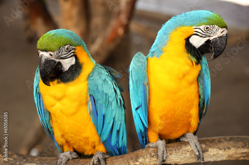 Macaws #61056585
