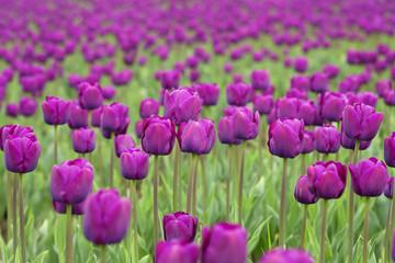 fototapeta fioletowe tulipany