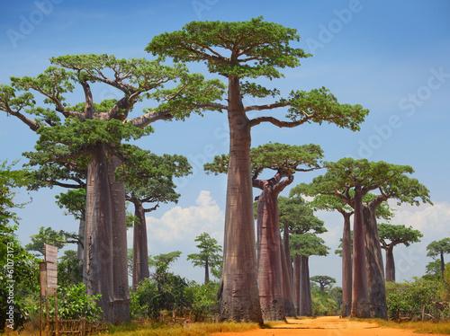 Spoed Foto op Canvas Baobab Baobab