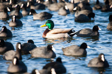 Wild  Mallard Ducks Swim In The Lake.conceptual Image One