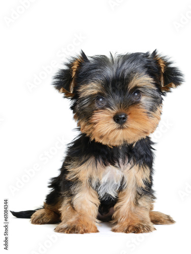 Canvas Print yorkshire terrier