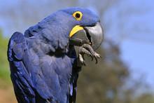 Profile Portrait Blue Hyacinth...