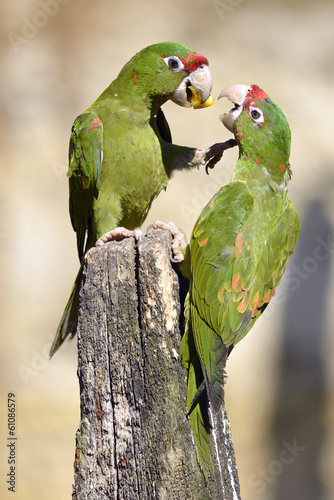 Mitred Parakeet on wood post Fotomurales