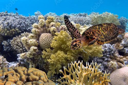 Cuadros en Lienzo green turtle swimming in blue ocean,great barrier reef