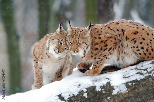 Photo sur Aluminium Lynx Lynx