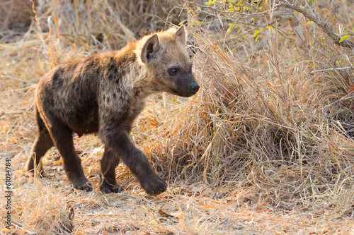 Foto op Plexiglas Hyena Small hyena pup playing walking outside its den in early morning