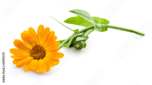 Cuadros en Lienzo Calendula. Marigold flowers with leaves isolated on white