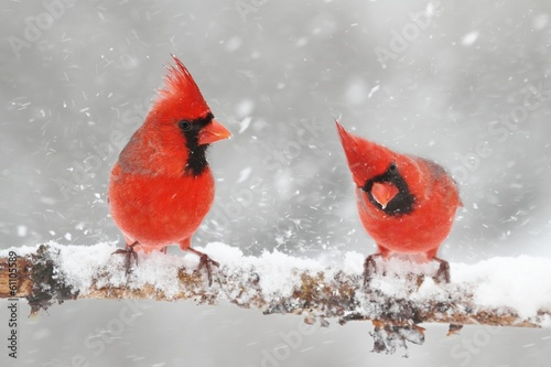 Aufkleber - Cardinals In Snow