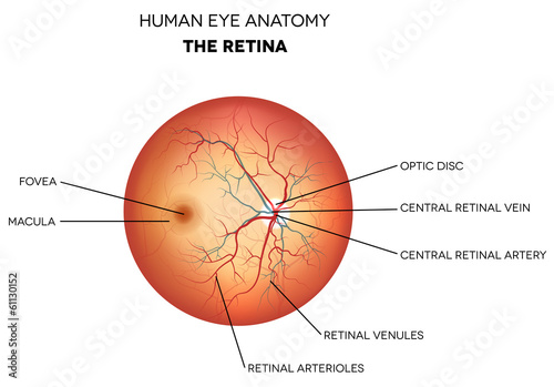 Fototapeta Human eye anatomy, retina