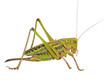 Grasshopper 24
