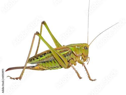 Fotografia Grasshopper 24