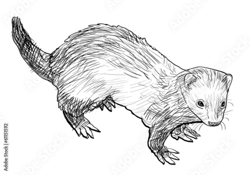 Valokuva  Drawing of ferret