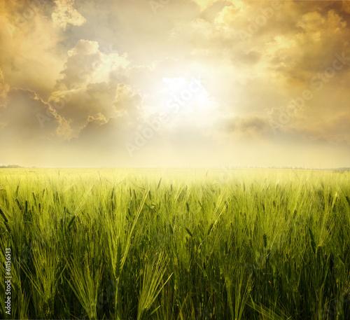 Fotobehang Zwavel geel Field of wheat
