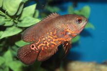 Oscar (Astronotus Ocellatus) Aquarium Fish