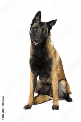 Fotografía  Belgian shepherd