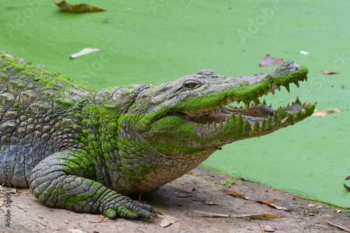 Deurstickers Krokodil West African Crocodile