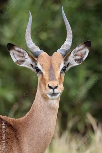 Poster Antilope Young Impala Antelope