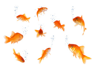 goldfishes isolated with bubbles