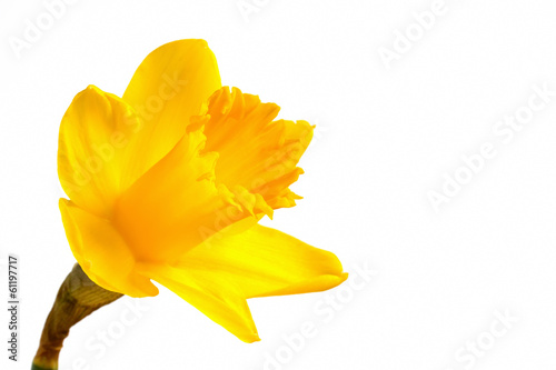 Deurstickers Narcis Bright yellow daffodil on a white background