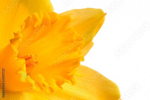Garden Poster Narcissus Close up image of bright yellow daffodil