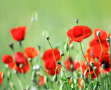 red poppy flowers in field
