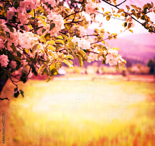 Cadres-photo bureau Melon Apple blossoms over blurred nature background/ Spring flowers