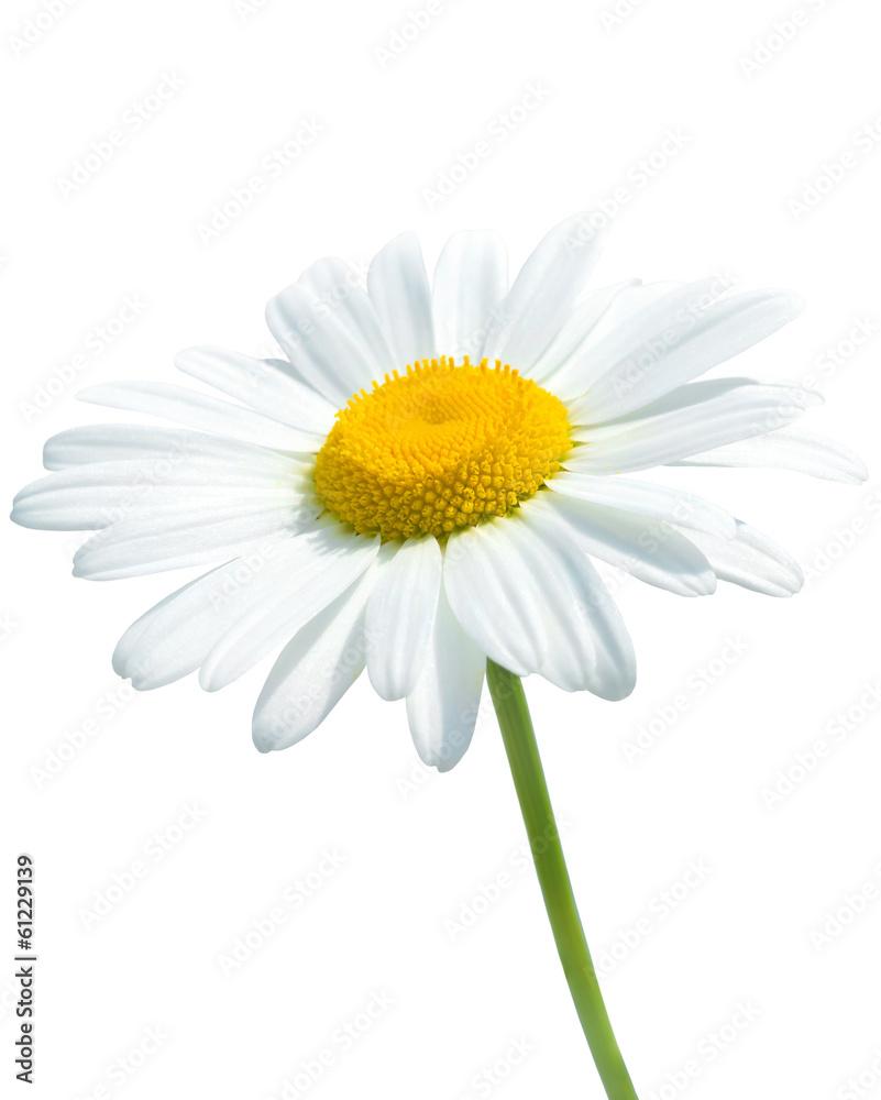 Fototapeta Beautiful daisy isolated on white background