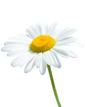 Beautiful Daisy Isolated On Wh...