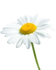 Beautiful daisy isolated on white background