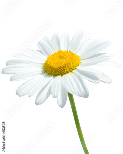 In de dag Madeliefjes Beautiful daisy isolated on white background