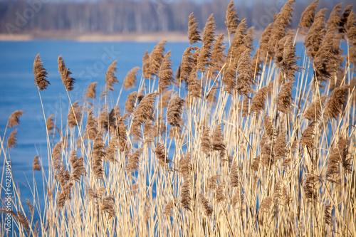 Fotografie, Obraz  Common Reed (Phragmites) in the Pogoria III lake, Poland.