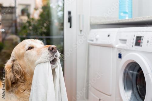 Vászonkép Golden Retriever doing laundry