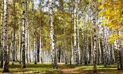 Fototapeta Brzoza Path in birch sunny forest