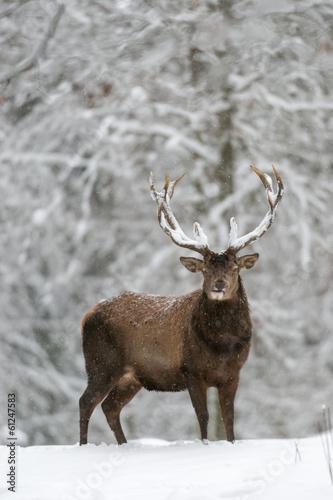 Poster Taupe Rothirsch, Red deer, Cervus elaphus