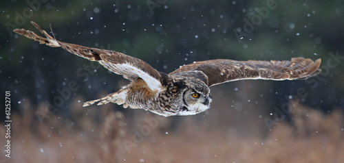 Staande foto Uil Gliding Great Horned Owl
