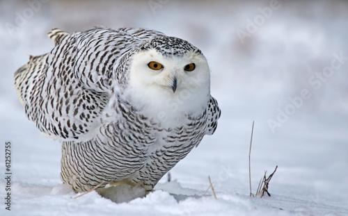Leaning Snowy Owl