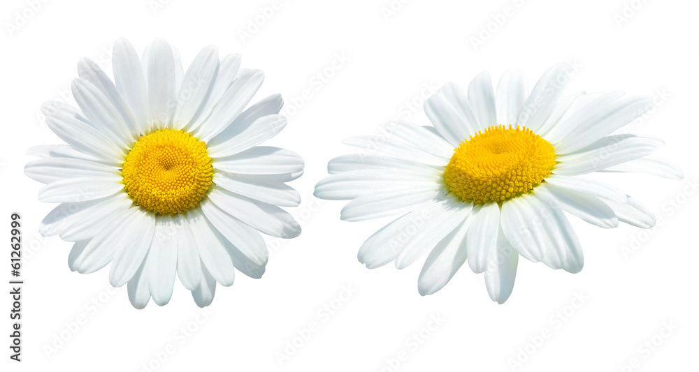 Fototapety, obrazy: Camomile isolated on white background