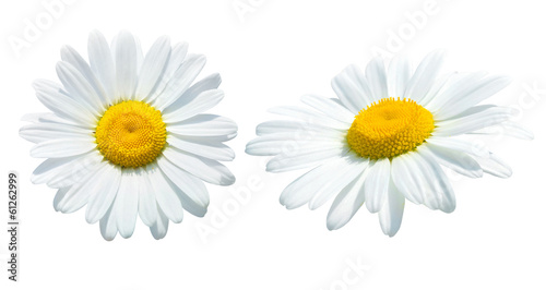 Photo sur Aluminium Marguerites Camomile isolated on white background