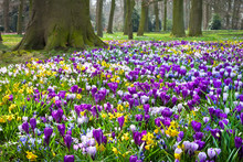 Crocuses And Narcissus In The ...