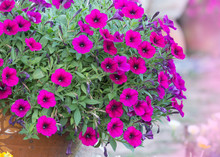 Purple Petunia Flowers In Ceramic Pot