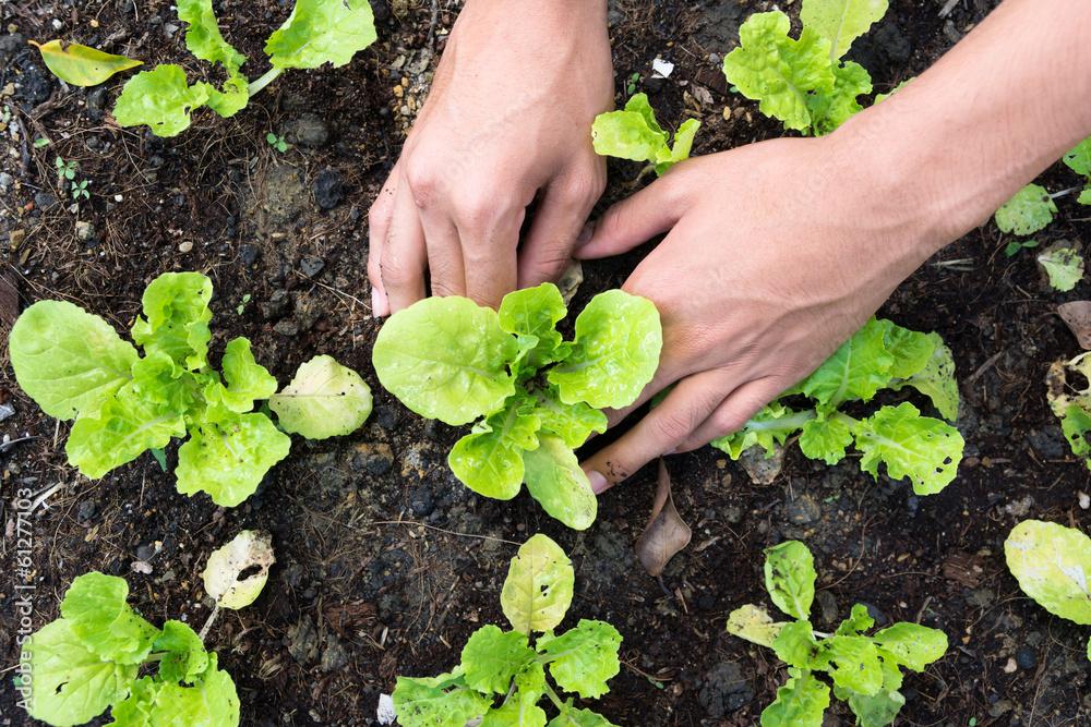 Fototapety, obrazy: Planting vegetable garden