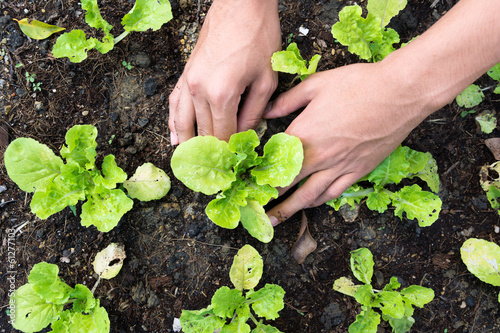 Fotografie, Tablou Planting vegetable garden