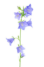 Bluebell Flower Is Isolated On...