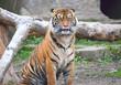 Tiger at the Warsaw Zoo