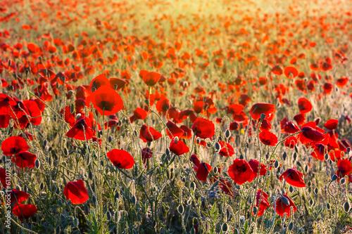 beautiful morning poppy field